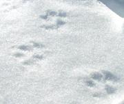 雪原に動物の足あと
